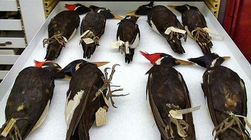 Chim chóc đâm đầu tự sát