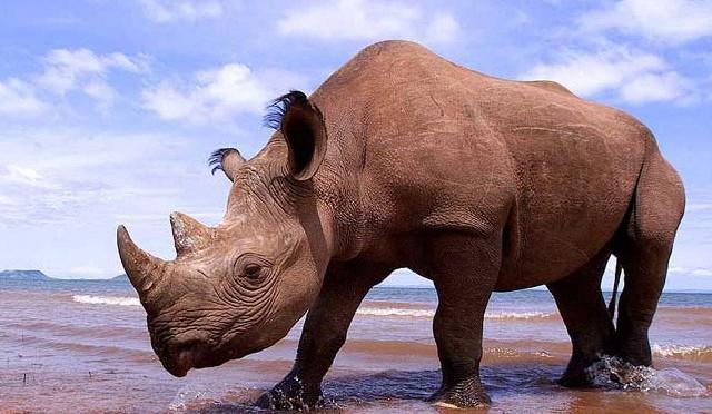 Chân của tê giác khá nhỏ so với thân hình cồng kềnh của chúng.