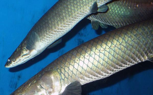 Vảy cá rồng giống như một miếng vải dệt có lớp laminate chịu lực linh hoạt