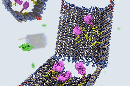 Các nhà khoa học đã chế tạo thành công robot hoàn toàn từ các sợi DNA