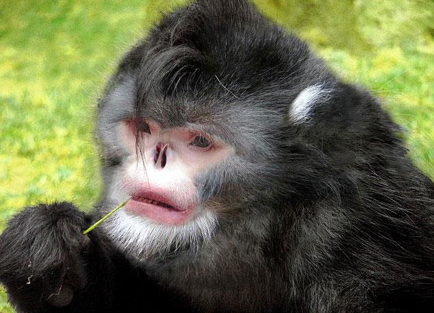 Khỉ mũi hếch