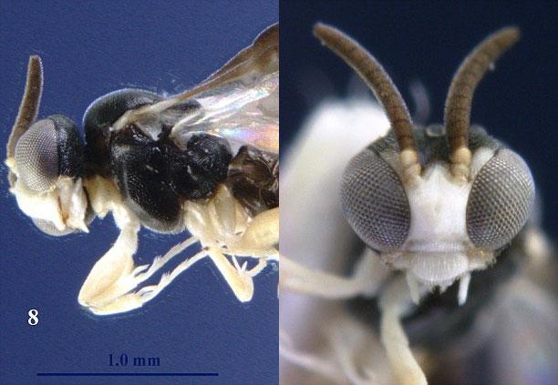 Loài ong bắp cày Kollasmosoma sentum