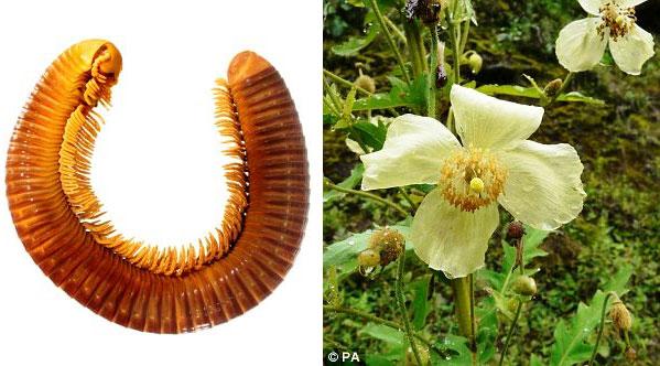 Sinh vật nhiều chân khổng lồ và hoa anh túc nở cách mặt đất