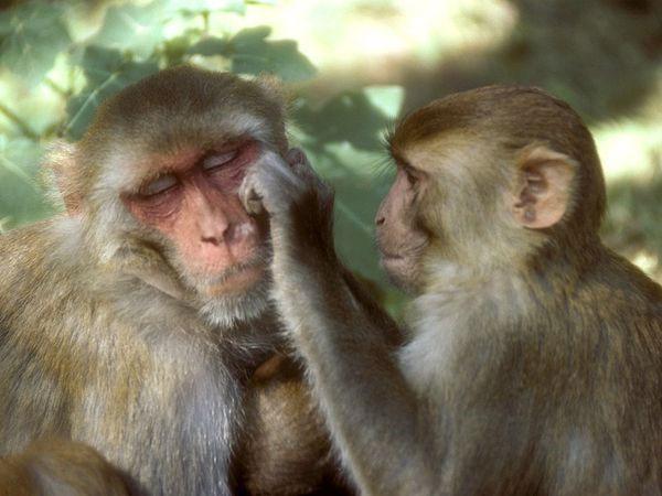 Thí nghiệm trên khỉ cũng cho thấy khỉ đực cũng lựa chọn ô tô đồ chơi, trong khi khỉ cái lựa chọn búp bê.