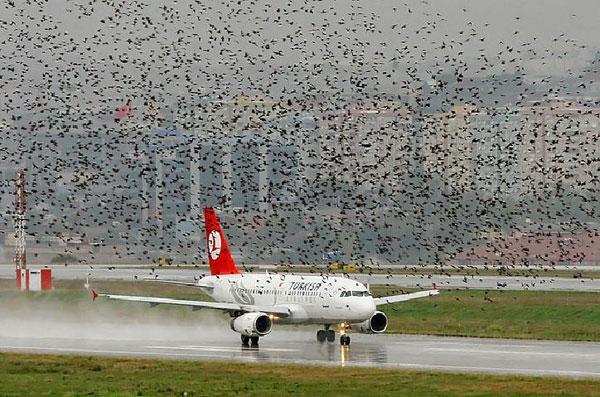 Chim chóc có thể hạ gục một máy bay lớn gấp nhiều lần kích thước của nó