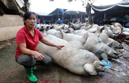 Bà Chen bên số lợn chết