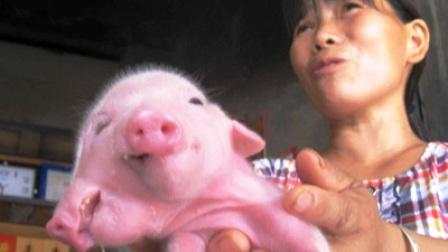 Lợn 2 đầu, 3 mắt xuất hiện ở Trung Quốc