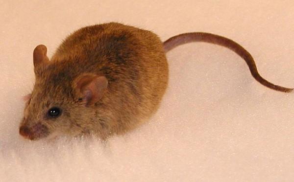 Những điều thú vị ít ai biết về loài chuột