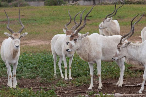 Addax nasomaculatus, hay linh dương sừng xoắn là loài động vật có vú bản xứ lớn nhất tại Sahara.