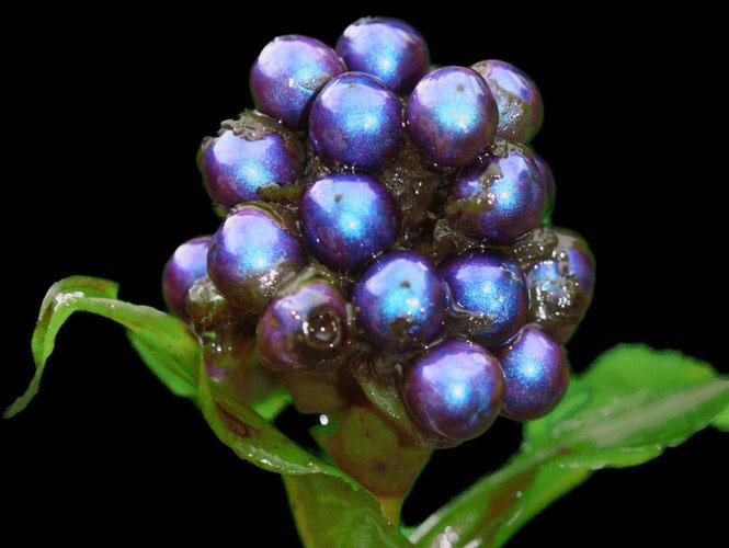 Quả Pollia condensata luôn giữ được màu sắc tươi dù cây héo từ lâu