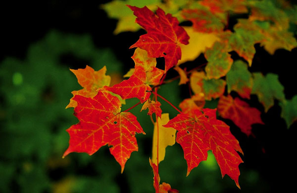 Lý giải hiện tượng lá cây đổi màu vào mùa thu