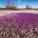 Hàng trăm quả cầu nhớt màu tím lộ diện giữa sa mạc tại bang Arizona, Mỹ.